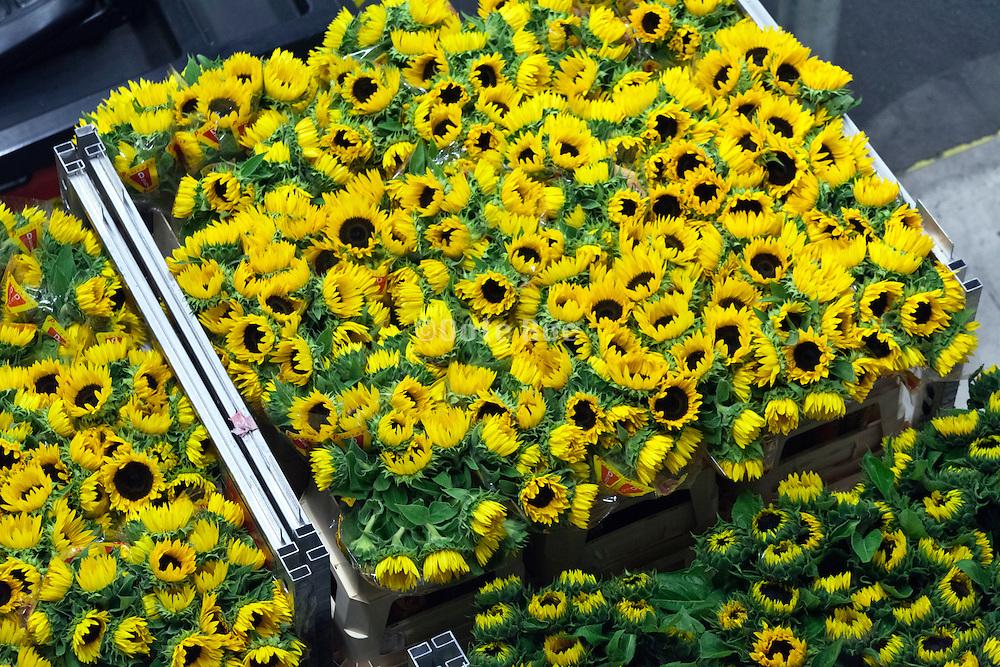 sunflower tranport cart inside the large warehouse hall of FloraHolland Aalsmeer Netherlands