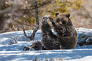 Grizzly Sow 610 relaxes in the shade while doing a few stretching exercises. This Sow roams Grand Teton National Park in Jackson Hole Wyoming