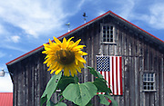 sunflower by large brown barn, American flag; PR; farm