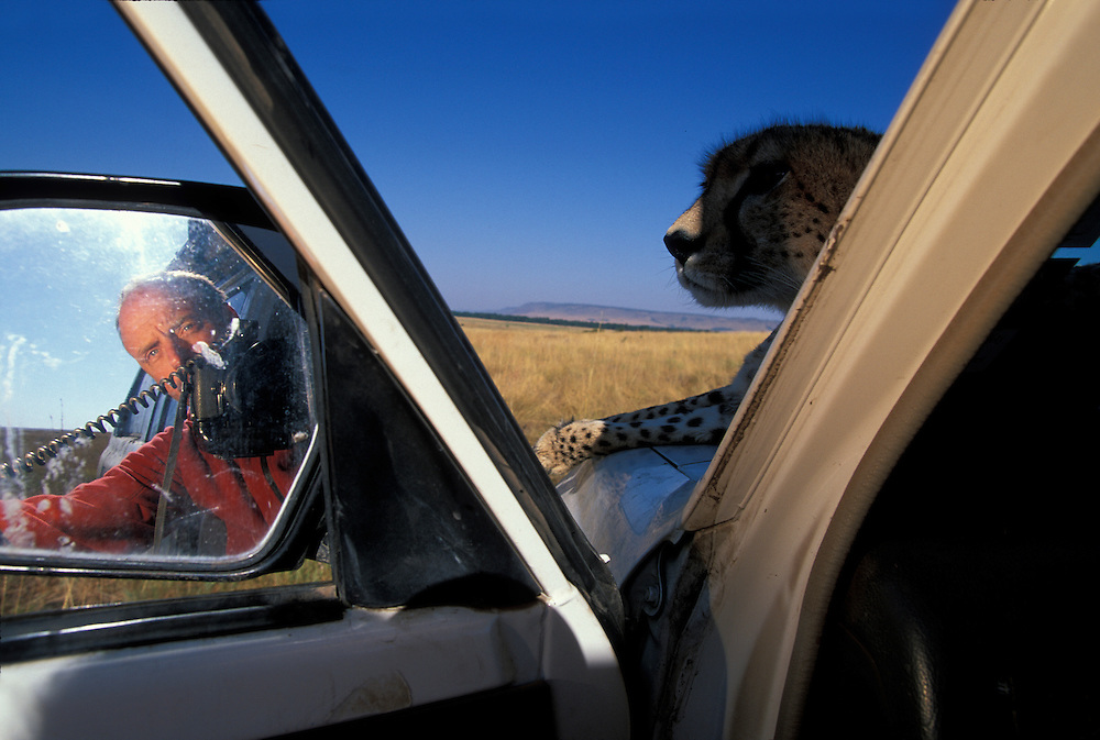 Africa, Kenya, Masai Mara Game Reserve, (MR) Photographer Paul Souders photographs cheetah on hood of safari truck