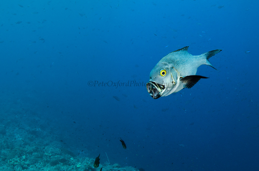 Midnight Snapper (Macolor macularis)<br /> Raja Ampat<br /> West Papua<br /> Indonesia