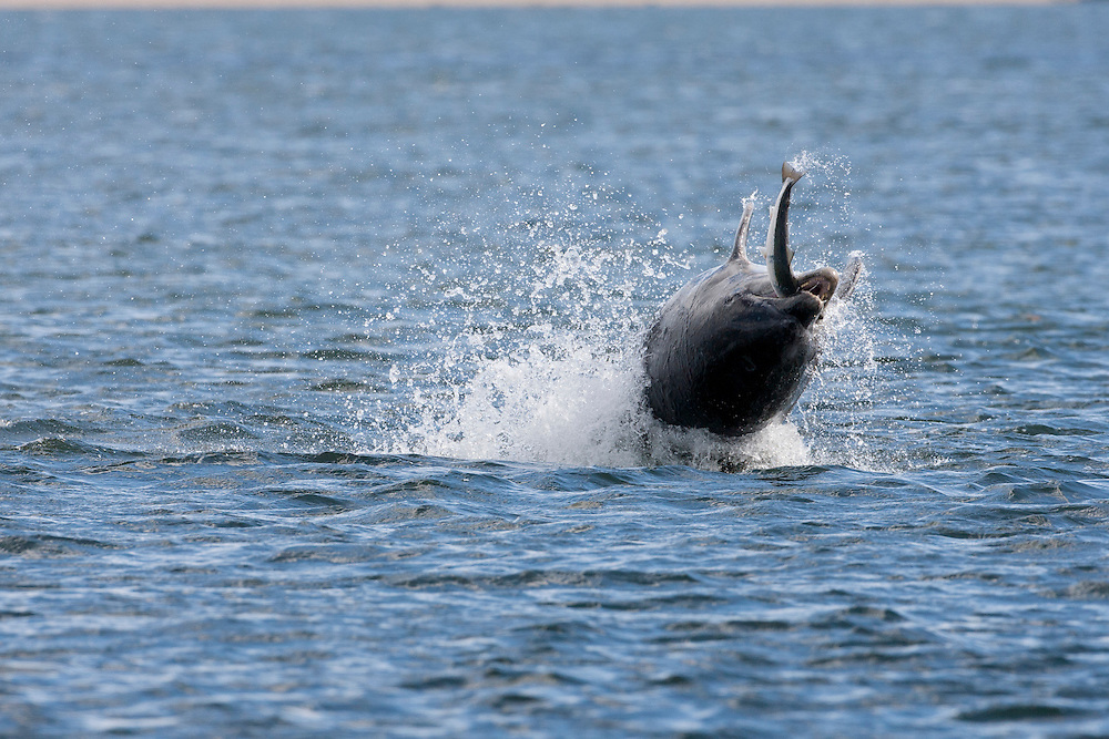 Bottlnose dolphin breaching with salmon in its jaws, Moray Firth Sequence Pic 1 of 32 of 3