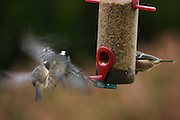 Two coal tits fighting over a spot at a feeder, the slow exposure emphasises their movement.