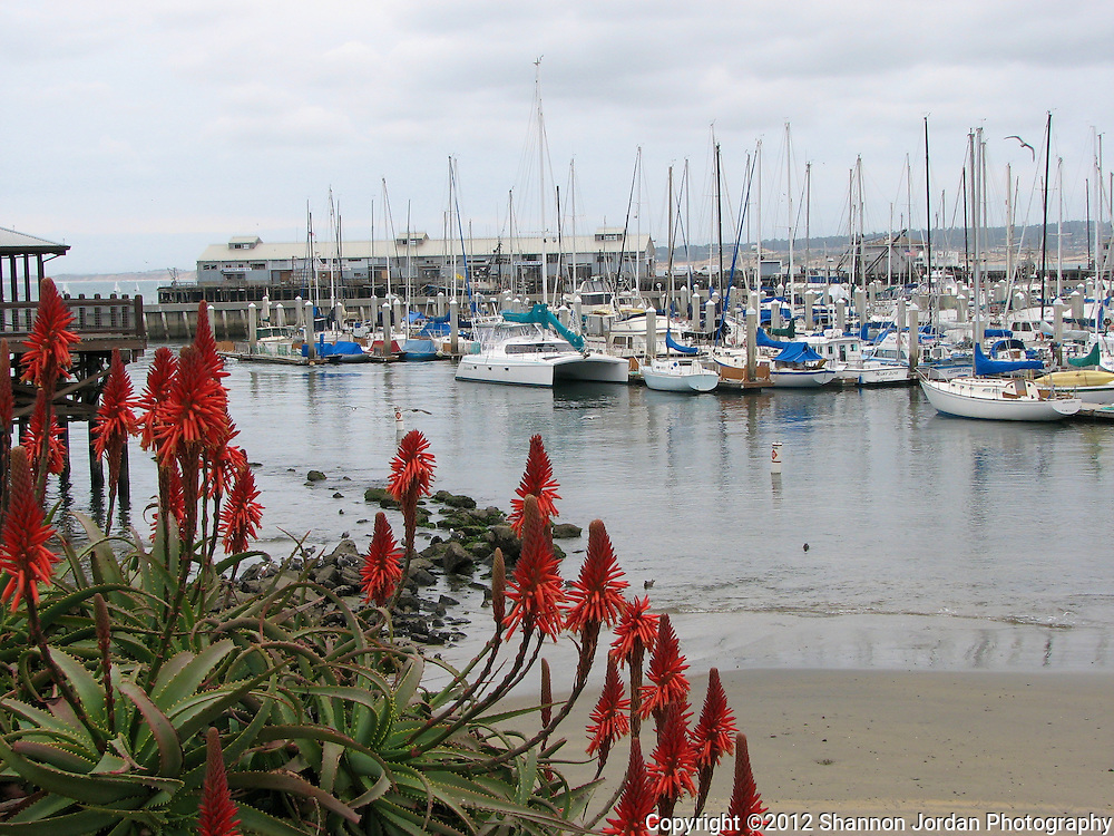 Blooming Aloe with with the boats of Monterey Bay in the background.Monterey was the first capital of California, and while it no longer has that distinction, Monterey is one of the top tourist destinations in the State. Monterey offers coastal beauty and charm, while maintaining a small town feeling unique from Californias larger Northern cities. Monterey offers the World Famous Monterey Bay Aquarium and Cannery Row, luxury hotels, fine dining, and even a smaller sister of the San Francisco Fisherman's Wharf. Many people make Monterey one of their top destination choices due to the great scenery and many tourist attractions.  Monterey was voted as one of the countrys 12 distinctive destinations by The National Trust for Historic Preservation (2006). Check out what Monterey has to offer, in beauty and culture.