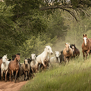Horses in Little Pete's Pasture, CM Ranch, Wyoming