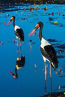 Saddle-billed storks in a shallow stream, near Kwara Camp, Okavango Delta, Botswana.