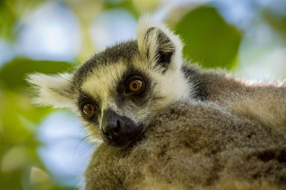 The ring-tailed lemur is a primate and the most recognizable lemur due to its tail.  It is endemic to Madagascar.  The ring-tailed lemur is very social.  They live in groups of up to thirty