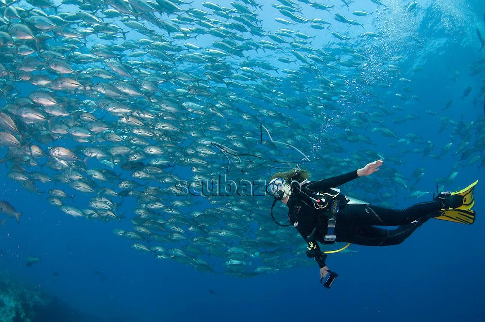 Diver with school of Bigeye Trevallies, Caranx sexfasciatus, profile, side view, Vaavu Atoll, The Maldives