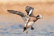 American Wigeon, Anas americana, male, New Mexico