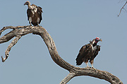 Whitebacked vulture (Gyps africanus) and Lappetfaced vulture (Torgos tracheliotus) Makalolo Plains, Hwange National Park, ZIMBABWE. Southern Africa <br /> WHITEBACKED: Gregarious birds. Roost in trees at night, soaring soon after sunrise to forage. Glides then dives following other vultures, crows, kites, hyaenas or lions to locate food. Often rests on ground by day. Drinks and bathes regularly at waterholes. Aggressive at carcass. May loaf on ground near carcass for hours after feeding.<br /> HABITAT & DISTRIBUTION: Savanna & bushveld. Africa s of Sahara, except forests and extreme desert. <br /> LAPPETFACED: Very large vulture that is dominant over all other species at a carcass. It may be solitary or in pairs and sometimes many birds at a carcass as well as being in the company of other vulture species. Roosts in trees at night and flies with difficulty in absence of thermals. Soars out well after sunrise to forage over wide area. Tears into tough carcasses by ripping with stout bill. Rarely steals carrion from smaller vultures. May loaf for hours near carcass after feeding.<br /> HABITAT & DISTRIBUTION: Savanna and desert. Much of Africa s or Sahara. Part of NW Africa, Arabia and Israel.