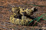 Black-tailed Rattlesnake, Crotalus molossus; Sonoran Desert, Arizona