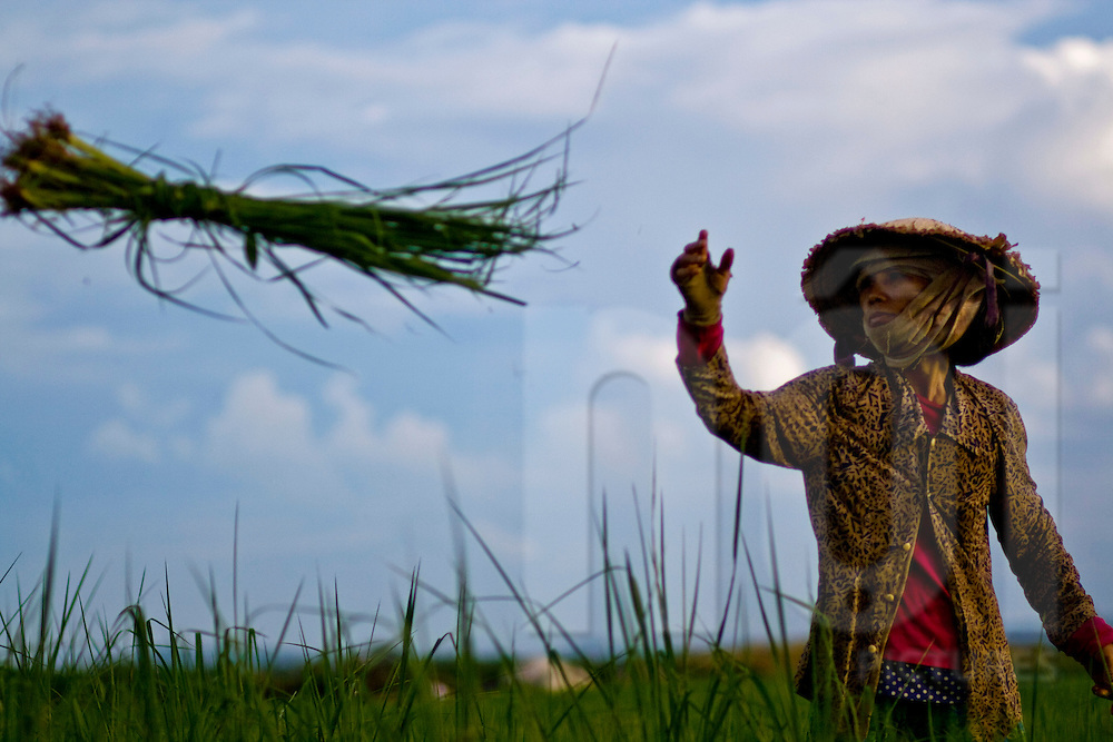 A Vietnamese farmer tosses a bundle of grass in a field during harvest, Hoi An area, Quang Nam Province  Central Vietnam, Southeast Asia