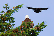 A Northwestern crow (Corvus caurinus) prepares to mob a bald eagle (Haliaeetus leucocephalus) in Heritage Park, Kirkland, Washington. Crows are often seen chasing hawks or eagles in flight, or repeatedly diving at them when they perched, a practice known as mobbing. Research is inconclusive, but scientists think this harassment helps to force the birds of prey to hunt elsewhere, ultimately reducing the threat to the crows and lowering competition for food.