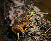 Kermit the Bullfrog. Image taken with a Nikon D850 camera and 200-500 mm f/5.6 VR lens (ISO 280, 500 mm, f/5.6, 1/1000 sec).