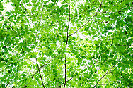Green leaves on beech tree branch looking upwards.