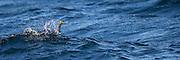 Cormorate behind a wave | Skarv bak en bølge