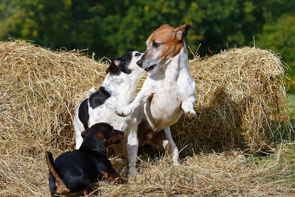 Jack Russell dogs and puppy  play on a bed of hay, England, United Kingdom