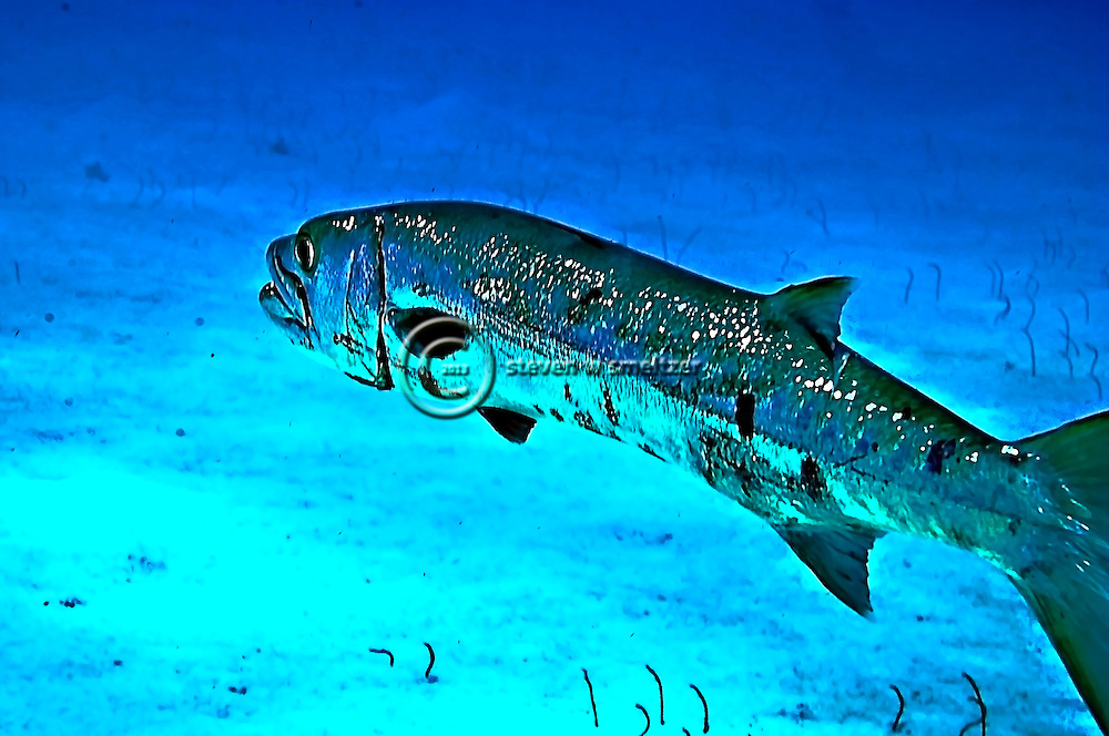 Barracuda, Sphyraena barracuda, (Edwards in Catesby, 1771), Grand Cayman