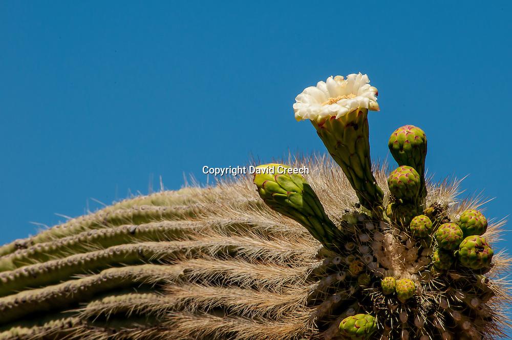 Saguaro Cactus (Carnegiea Gigantea) in Bloom.