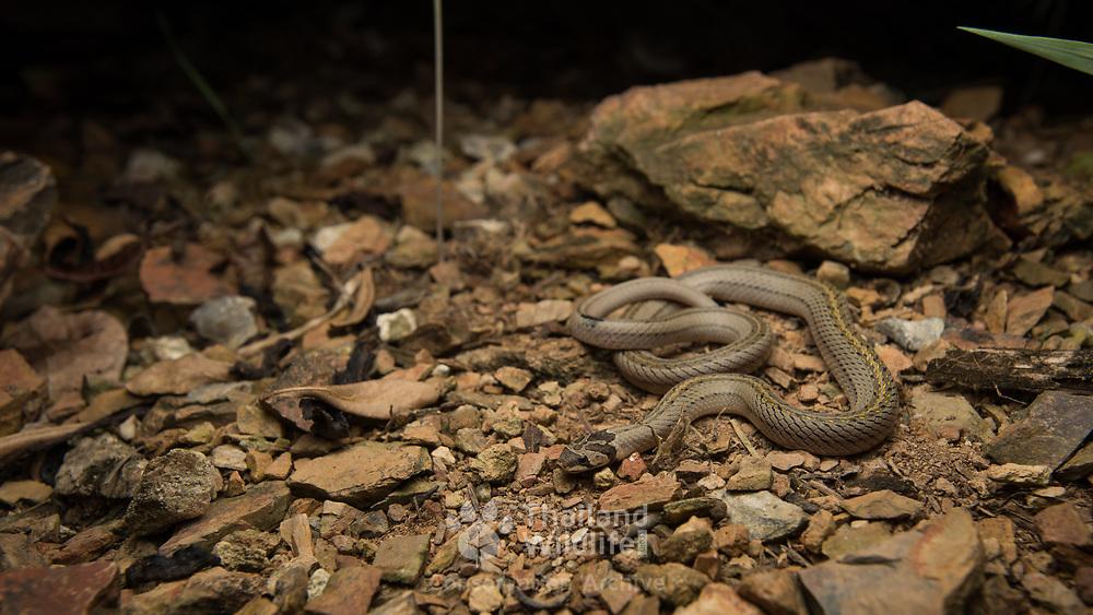 Cambodian Kukri Snake (Oligodon mouhoti) in Kaeng Krachan district, Phetchaburi, Thailand