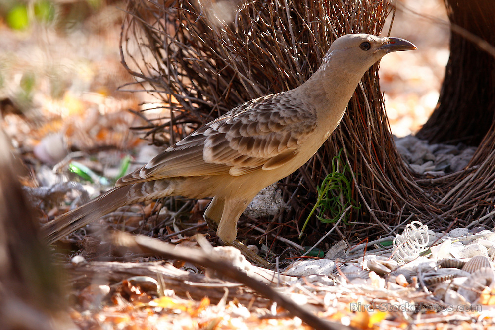 Great Bowerbird, Chlamydera nuchalis, Australia, by Jonathan Rossouw