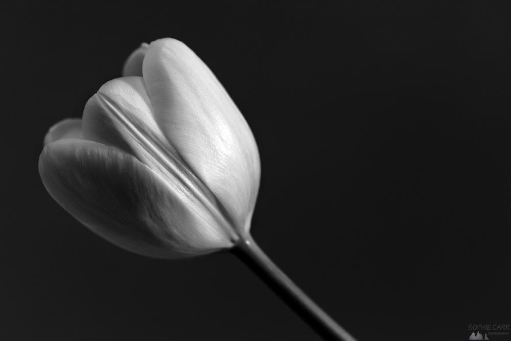 Monochrome image of a white tulip