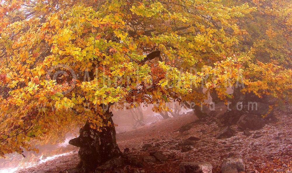 Alberto Carrera, Hayedo de la Pedrosa, Beech Forest, Riofrío de Riaza, Sierra de Ayllón, Segovia, Castilla y León, Spain, Europe.