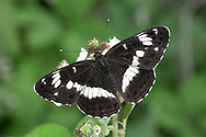 White Admiral Limenitis camilla Wingspan 50mm. Glides with ease, flies swiftly and visits Bramble flowers along woodland rides. Adult has blackish upperwings with white bands; chestnut underwings have similar pattern of white to upperwings. Flies June-July. Larva is mainly green with tufts of spiny, orange hairs; feeds on Honeysuckle. Locally common in broadleaved woodland in southern England.