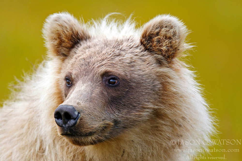 North American brown bear / coastal grizzly bear (Ursus arctos horribilis) cub standing in a field of grass, Lake Clark National Park, Alaska, United States of America