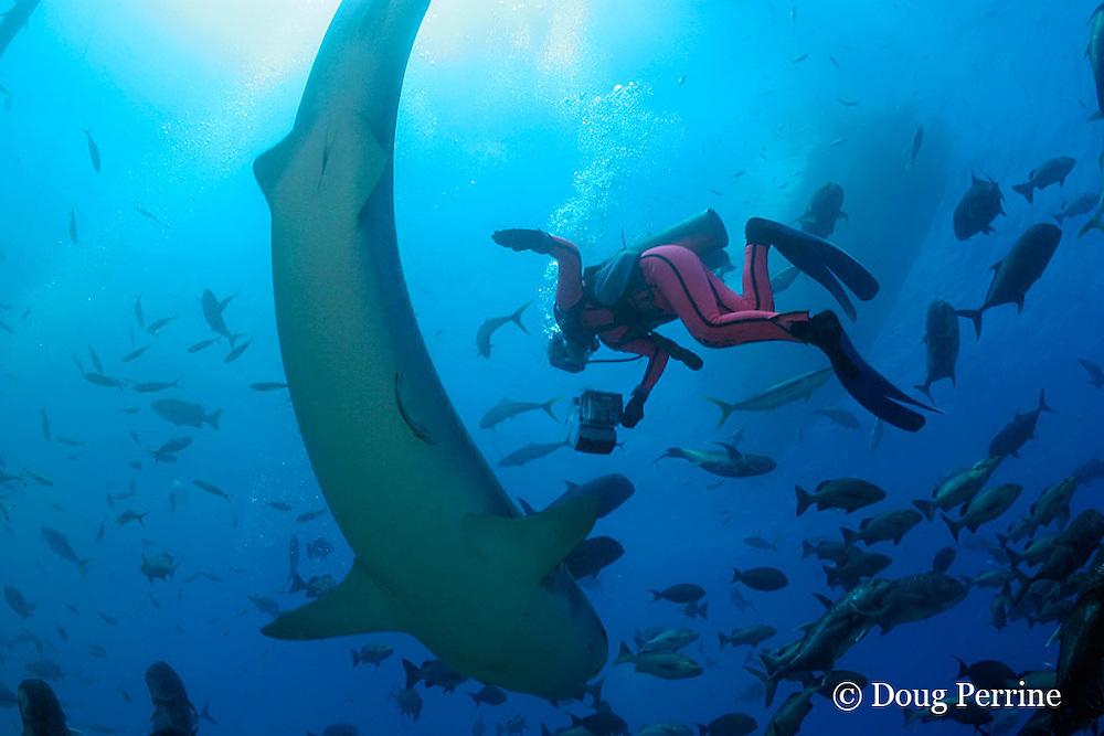 Valerie Taylor photographs tiger shark, Galeocerdo cuvier, <br /> Shark Reef Marine Reserve, Beqa Passage, Viti Levu, Fiji  ( South Pacific Ocean ) MR 331