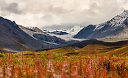 Common Fireweed (Epilobium augustifolium) gone to seed foreshadows the coming of winter near the Gulkana Glacier and the Alaska Range in Interior Alaska. Autumn. Afternoon.
