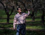 Mohnish Seth inspects some almond trees next to his processing plant in Chico. They said the almond bubble would never burst, but now it has. Prices have fallen 40 percent since August. Mohnish Seth, runs a mid-sized almond-export business and farms almonds in Glenn County as well as in the San Joaquin Valley. January 22, 2009.
