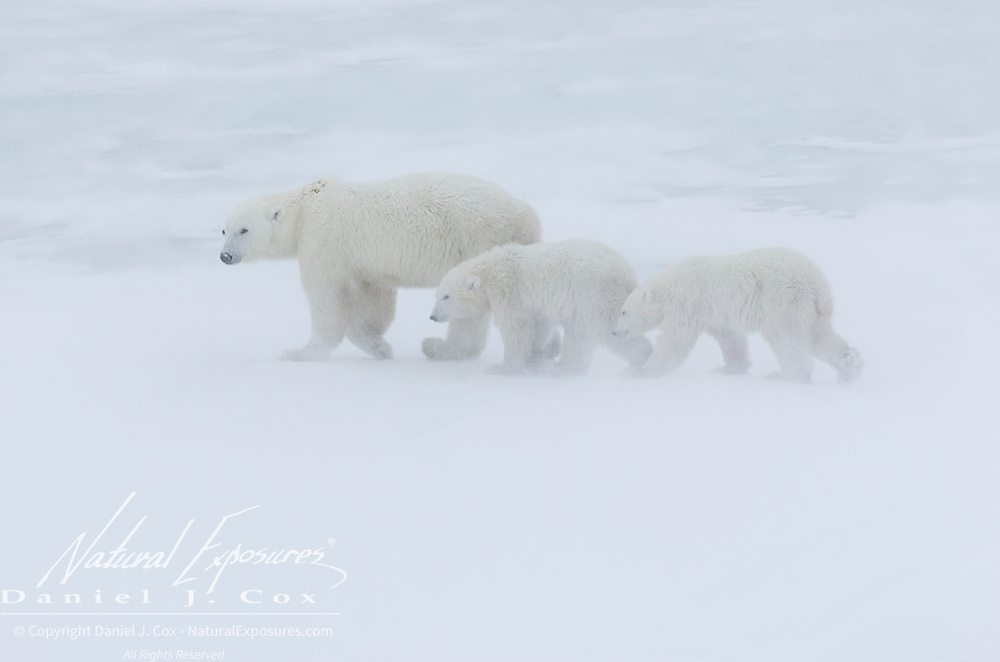 Polar Bear (Ursus maritimus) mother with her two cubs along Hudson Bay near Churchill, Manitoba. Canada.