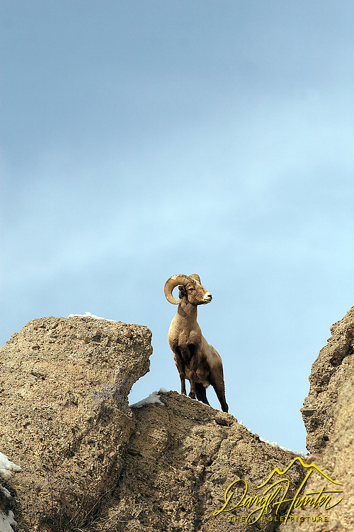 Bighorn Sheep Ram on top of cliff in Jackson Hole, Wyoming