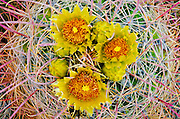 Barrel cactus in bloom, Anza-Borrego Desert State Park, California