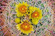 Barrel cactus in bloom, Anza-Borrego Desert State Park, California