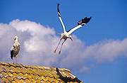 White Stork (Ciconia ciconia). one resting on a house rooftop while the other flies away. Andalucia, Spain.
