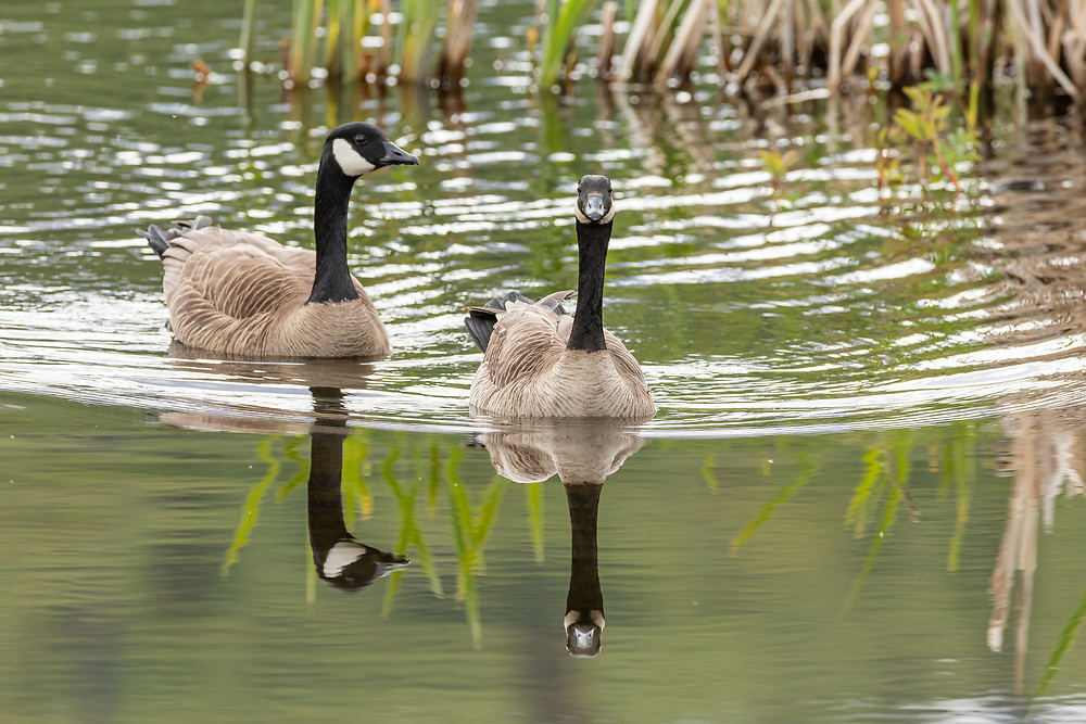 Canada Goose (Branta canadensis) pair swimming at Potter Marsh in Southcentral Alaska. Spring. Morning.