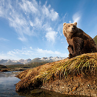 USA, Alaska, Katmai National Park, Young female Grizzly Bear (Ursus arctos) sitting on banks above salmon spawning stream along Kinak Bay
