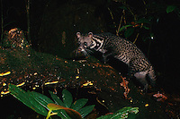 Malay Civet (Viverra tangalunga) photographed by a camera trap at night in the rain forest of Borneo..Gunung Palung Natioanl Park, West Kalimantan, Borneo, Indonesia