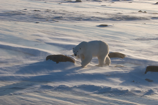 Polar Bear (Ursus maritimus) waiting for the ice to freeze. Cape Churchill, Manitoba