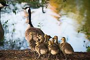 Geese at Lake Arthur (Photo by Gonzaga University)