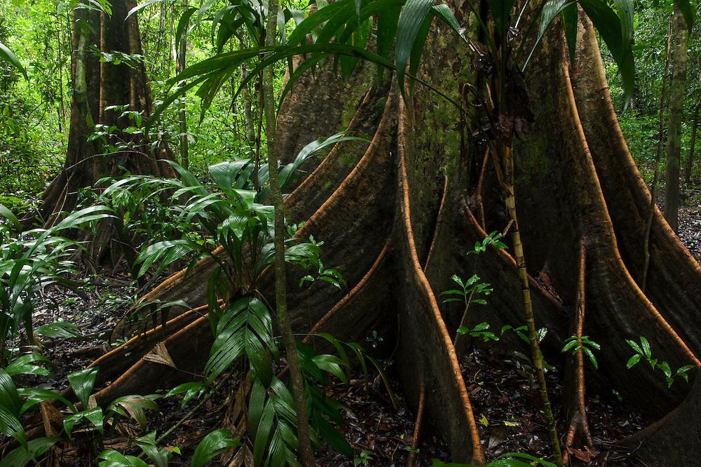 Buttress Roots<br /> Rain Forest<br /> Mapari<br /> Rupununi<br /> GUYANA<br /> South America
