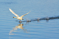 Trumpeter swan taking off
