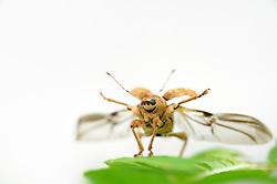 Acorn weevil (Curculio glandium) , The Biosphere Reserve 'Niedersächsische Elbtalaue' (Lower Saxonian Elbe Valley), Germany | Der Gewöhnliche Eichelbohrer (Curculio glandium) ist ein flugfähiger Käfer. Dem typischen Grundschema der Insekten entsprechend ist er ein Vierflügler. Bei Käfern ist allerdings das vordere Flügelpaar zu harten Deckflügeln umgestaltet, die im Flug beiseite geklappt werden. Die darunterliegenden häutigen Flügel werden ausgefaltet, der Käfer spreizt sein mittleres Beinpaar ab - und startet.
