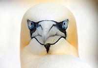 Gannet portrait Saltee Islands Ireland