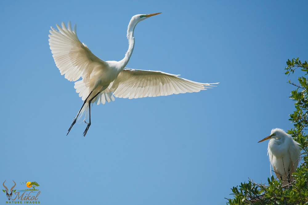 Great Egrets in breeding plumage