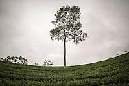 Tea Plantations near Doan Hung in Yen Bai Province, Vietnam, Southeast Asia