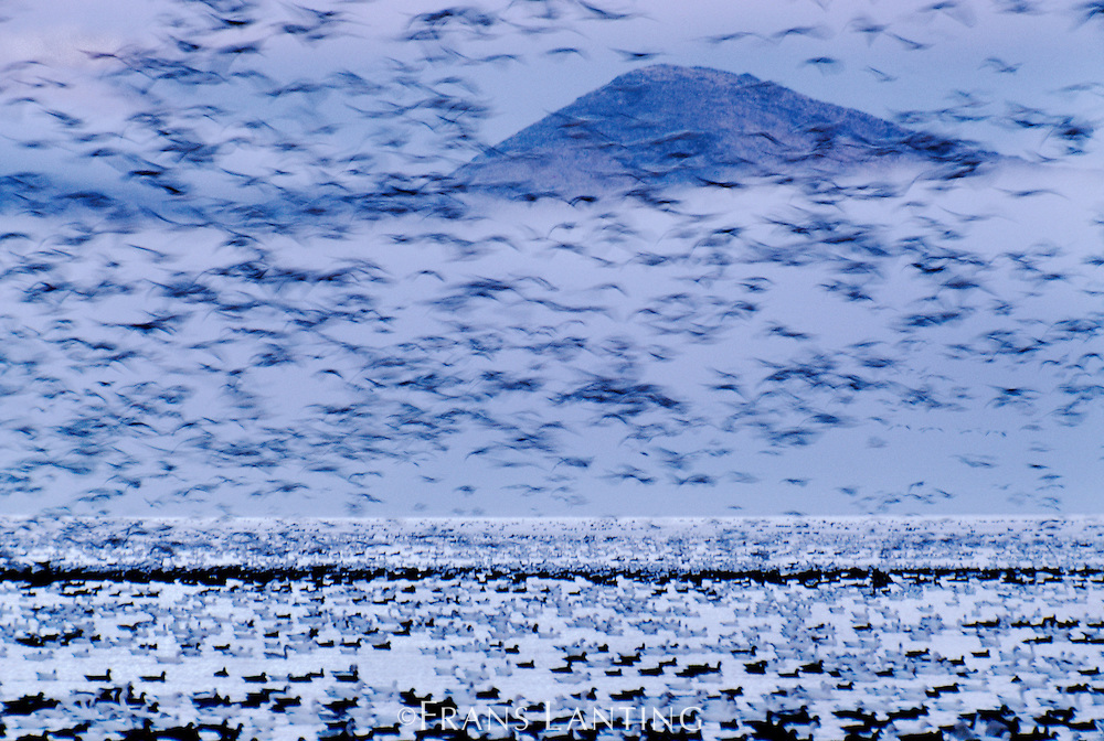 Snow geese, Chen caerulescens, Klamath Basin National Wildlife Refuge, California