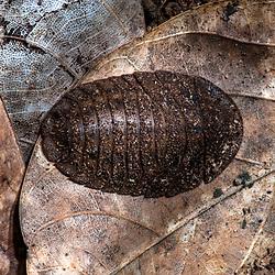"""Barata (Blattodea) fotografado em Cariacica, Espírito Santo -  Sudeste do Brasil. Bioma Mata Atlântica. Registro feito em 2012.<br /> <br /> <br /> <br /> ENGLISH: Cockroach<br />  photographed in the city of Cariacica, Espírito Santo - Southeast of Brazil. Atlantic Forest Biome. Picture made in 2012."""